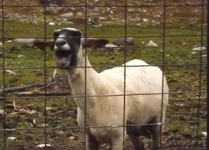 Τα δέκα καλύτερα mashup με κατσίκες