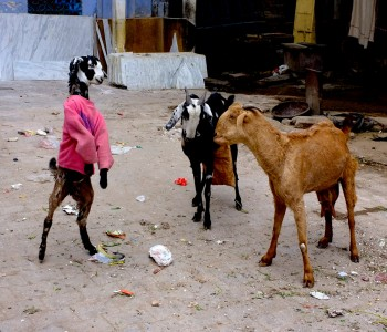 Κατσίκες με πουλόβερ στους δρόμους της Ινδίας