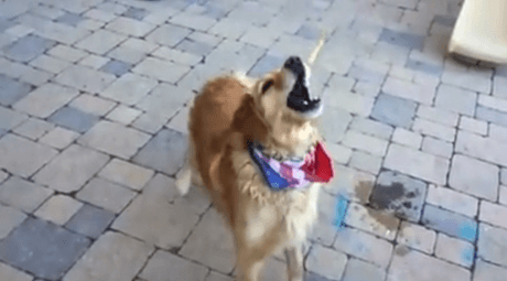 To σκυλο-fail της ημέρας: Άμπαλο γκόλντεν ριτρίβερ δεν μπορεί με τίποτα να πιάσει φαγητό στον αέρα