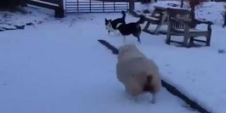 Αυτό το αρνί που νομίζει οτι είναι σκύλος θέλουμε να το υιοθετήσουμε (VIDEO)