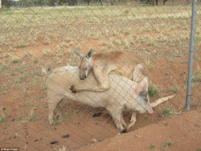 Καγκουρό τα 'φτιάξε με γουρουνίτσα γιατί δεν άντεχε τη μοναξιά της Αυστραλίας (PHOTO)