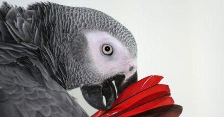 Ένας παπαγάλος παίζει να είναι ο βασικός μάρτυρας σε μια υπόθεση δολοφονίας στις ΗΠΑ