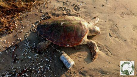 Σκότωσαν καρέτα καρέτα στη Νάξο δένοντας στο πόδι της ένα μπουκάλι τσιμέντο (PHOTO)