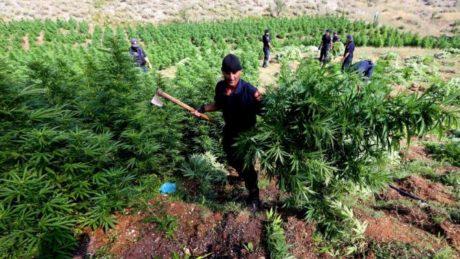 Στο κλαμπ των 5 μεγαλύτερων καλλιεργητών χασισιού στον κόσμο μπήκε η Αλβανία σύμφωνα με τον ΟΗΕ