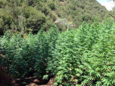 Σχεδόν 3000 χασισόδεντρα ανακάλυψε μέσα σε 2 ημέρες η Eλληνική Αστυνομία