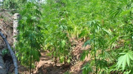 Φυτεία με 5.000 χασισόδεντρα ανακάλυψε και κατέσχεσε η αστυνομία στην Κρήτη (PHOTO)