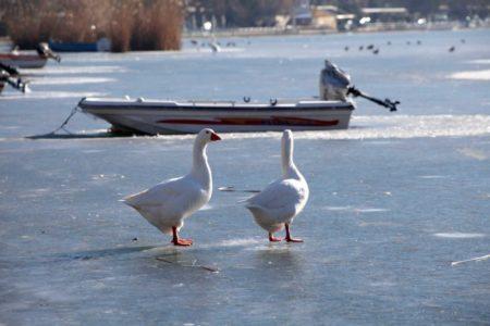 Συγκλονιστικές φωτογραφίες με παπάκια από την παγωμένη λίμνη της Καστοριάς (PHOTOS)