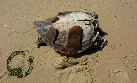Αποκεφαλισμένες καρέτα καρέτα ξεβράζει η θάλασσα στην παραλία Πλάκα της Νάξου (PHOTOS)
