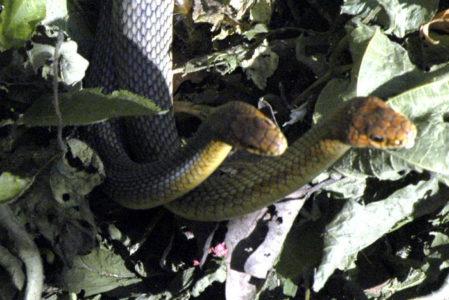 Μετά τις Σέρρες με φίδια κατακλύζεται και το κέντρο της Λάρισας