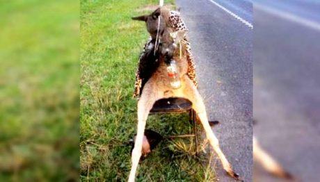 Μελβούρνη: Η αστυνομία αναζητεί άτομο που σκότωσε καγκουρό, το έντυσε με παλτό και και το έστησε σε καρέκλα με ούζο