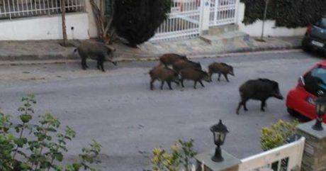 Αγριογούρουνα το ζουν στα στενά της Βόρειας Θεσσαλονίκης