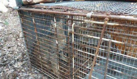 Μεγάλη αγριόγατα που μοιάζει με φουρόγατο πιάστηκε σε παγίδα βοσκού στον Ομαλό