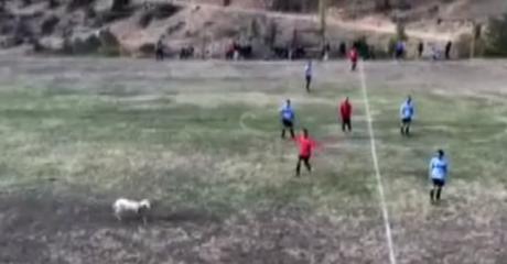 Προβατίνα έκανε ντου σε ποδοσφαιρικό αγώνα στα Τρίκαλα