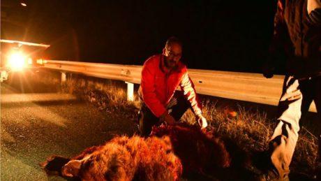 Άλλες δύο αρκούδες σκοτώθηκαν απλά επειδή η Εγνατία δεν έχει φράχτη