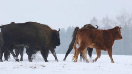 Αλάνι αγελάδα το σκάει από τη φάρμα για να πάει να ζήσει χίπικα με βίσονες