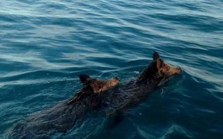 Αγριογούρουνα προσπάθησαν να αποδράσουν απ' το νομό Ηλείας κολυμπώντας