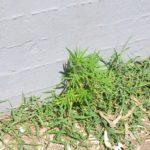 Αυτό το μικρό χασισοδεντράκι που φύτρωσε μόνο του στην Καλαμάτα είναι το θαύμα της ζωής