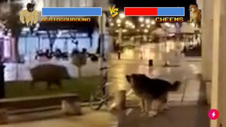 Αγριογούρουνο σκάει στην Αριστοτέλους και την πέφτει στο λόκαλ Cheems σκύλο